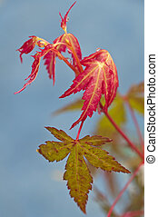 japanese maple with autumnal colors