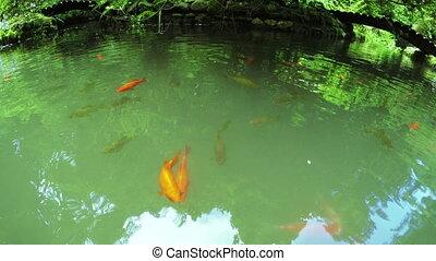 Japanese mirror carp - In Batumi Botanical Garden pond with...