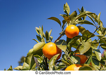 Japanese orange ;Satsuma on the tree