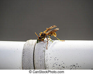 Japanese paper wasp eating on a fence railing 3