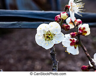 Japanese plum blossoms open in early spring 6