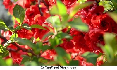 Japanese Quince Tree Close Up