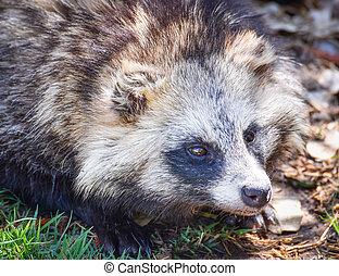 Japanese raccoon dog sitting in the grass / tanuki animal - Nyctereutes procyonoides