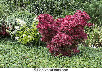 japanese red acer