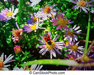 Japanese red bug sits on the purple aster flower in the...