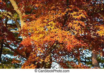 Japanese Red Maple Tree Leafs in the Fall