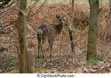 Japanese Saka deer