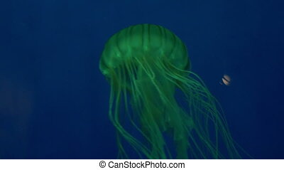 Japanese Sea Nettle - A colorful jelly fish swimming in...