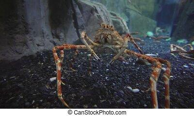 Japanese spider crab in aquarium stock footage video -...