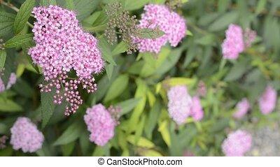 Japanese spiraea flower - Corymb of pink japanese spiraea...