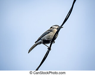 Japanese tit on a powerline 1