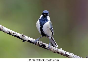 Japanese Tit Parus minor Birds of Thailand