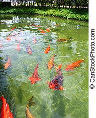 Japanese variegated carps swimming