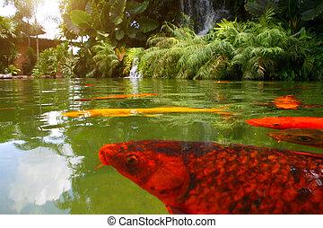 Japanese variegated carps swimming in garden pond