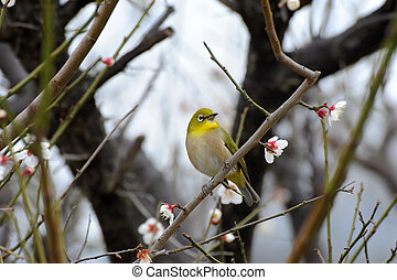 white-eye bird - Japanese white-eye bird with plum tree, ...