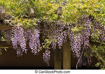 Japanese wisteria flowers in bloom