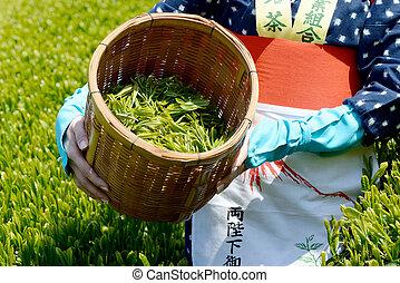 harvesting green tea leaves - Japanese woman harvesting...