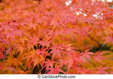 japanisches ahornholz, in, herbst