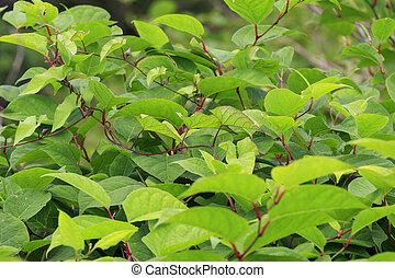 japanisches , knotweed