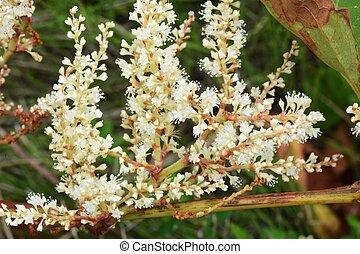 japanisches , knotweed, blumen