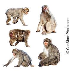 japanisches , satz, macaques, wenige