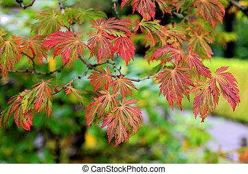 japansk ahorn træ, ind, efterår farve