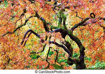 japansk, snørebånd, blad, ahorn træ, ind, fald