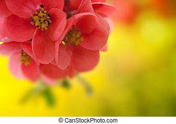 japenese, fioritura, crabapple