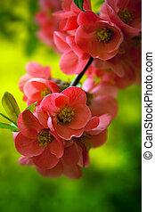 japenese, fioritura, fiori, crabapple