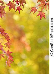 japońskie klonowe drzewo, liście, barwny, tło, w, jesień