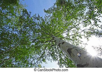 Blanco japon s abedul platyphylla japon s japonica imagen de archivo buscar fotos - Abedul blanco ...