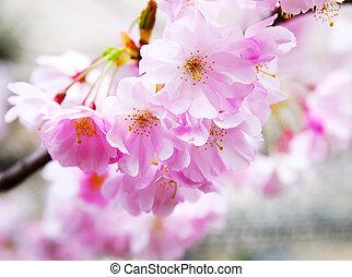 japonés, flor, cereza