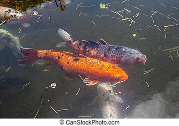 Koi g orgie batumi couleur beaucoup fish color for Carpe koi tarif