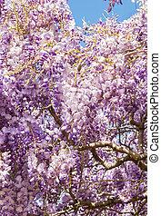 japonaise, pourpre, wisteria, contre, bleu fleurit, ciel, fleur
