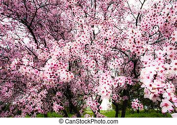 japoneses, flor cereja, em, primavera