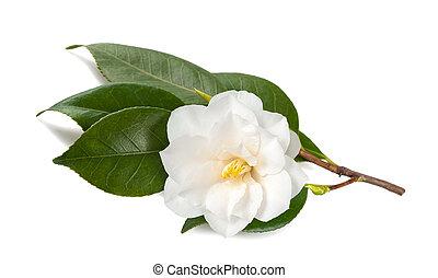 japonica, camélia