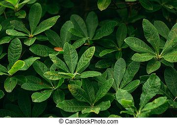 japonicum, grüne blätter, rhododendron, ericaceae