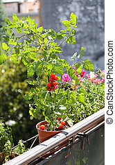 tomatoes on the ledge of the terrace at the House - jar of...