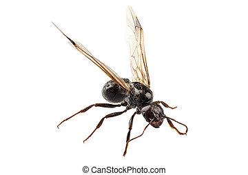 jardín, alado, hormiga, lasius, negro, níger, especie