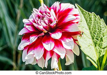 jardín, dalia, crecer, bicolor