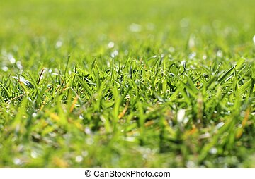 jardín, hierba verde, césped, macro, perspectiva