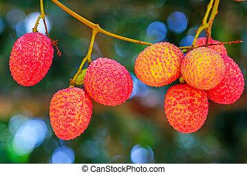 jardín, lychee, fruit., árbol, asia, fruta, tailandia