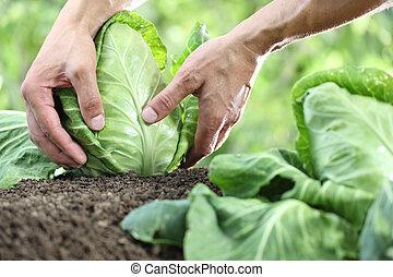 jardim, cima, mãos, vegetal, fim, colheita, repolho