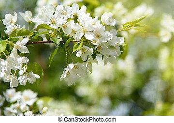 jardim, ensolarado, filial árvore, florescer, dia, maçã