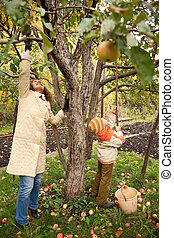 jardim, recolher, outonal, filho, maçãs, mather