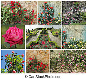 jardim, rosa
