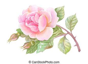 jardim, rosa, isolado, aquarela, experiência., branca