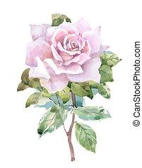 jardim, rosas, isolado, aquarela, experiência., branca