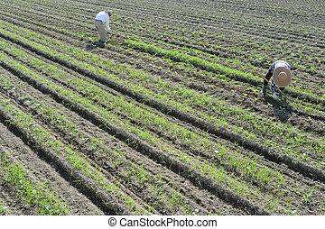 jardim, trabalhando, agricultores