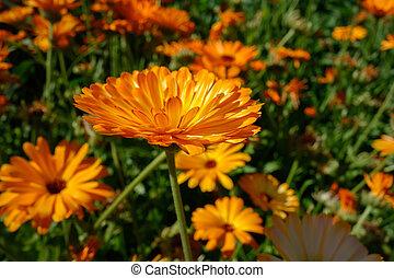 jardin anglais, fleurir, orange, calendula, clair